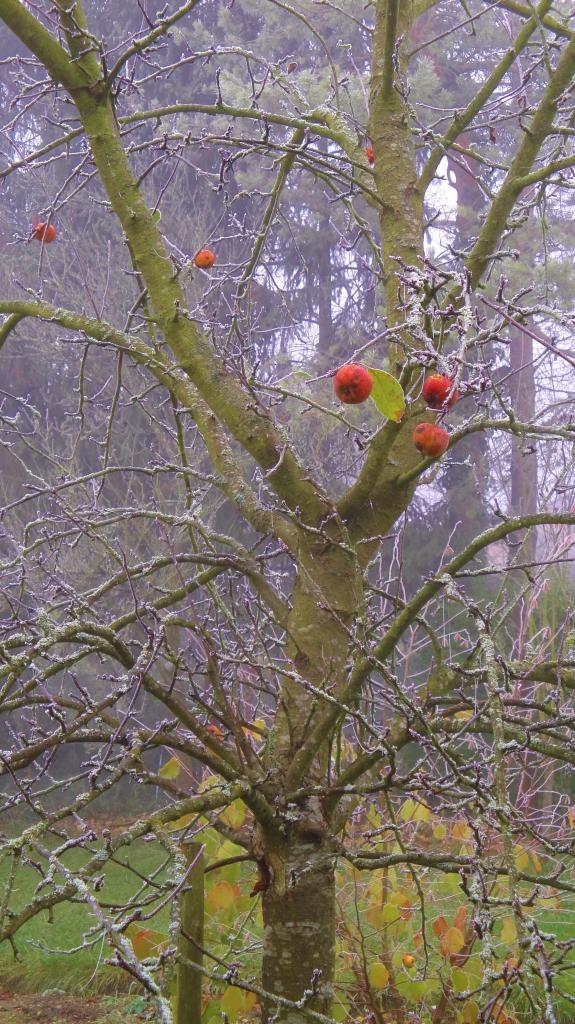 27.11. pommes d'hiver (1)